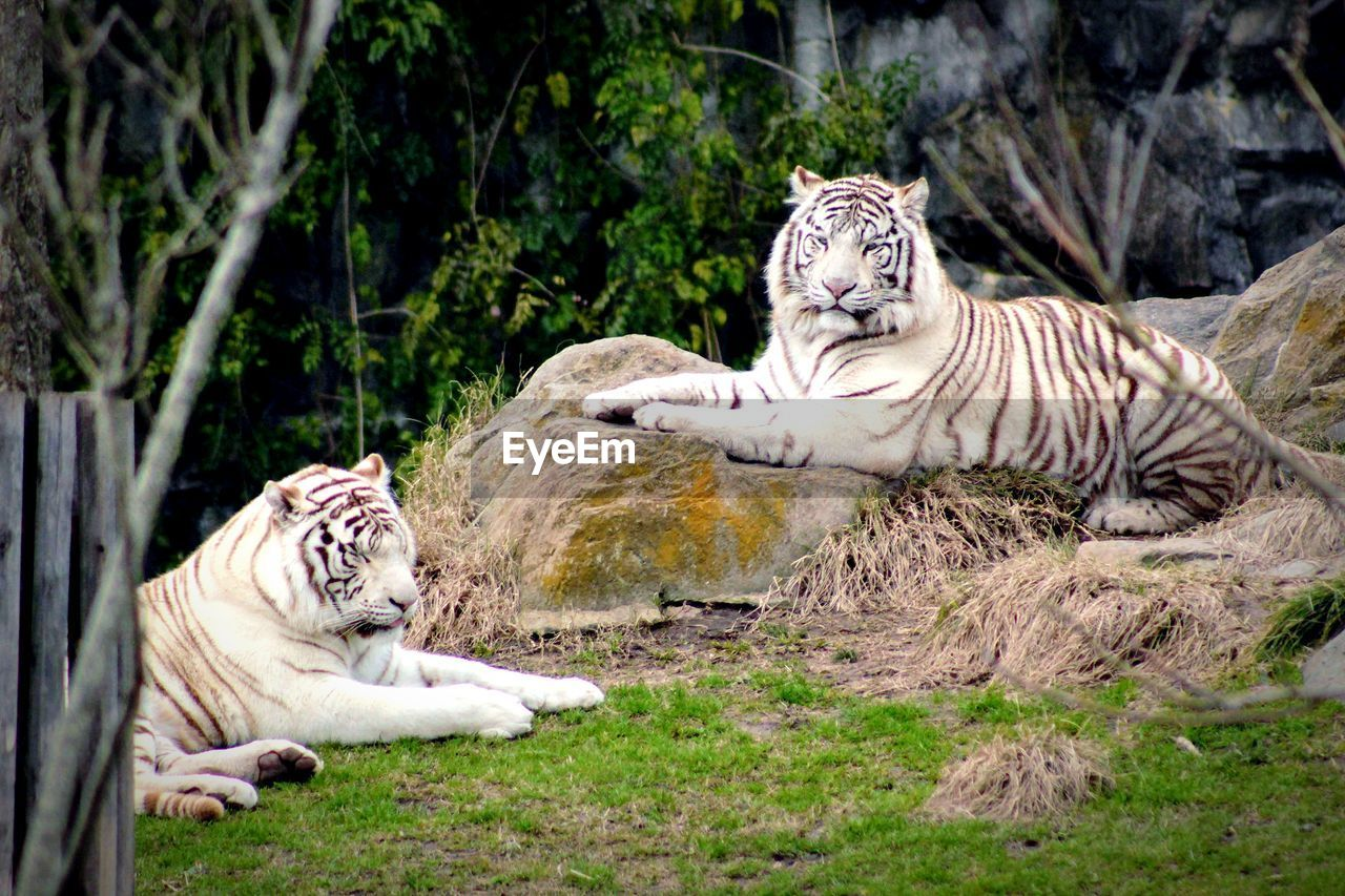 animal themes, animal, animal wildlife, mammal, tiger, big cat, feline, cat, animals in the wild, group of animals, white tiger, carnivora, plant, nature, endangered species, no people, two animals, striped, outdoors, zoo, undomesticated cat