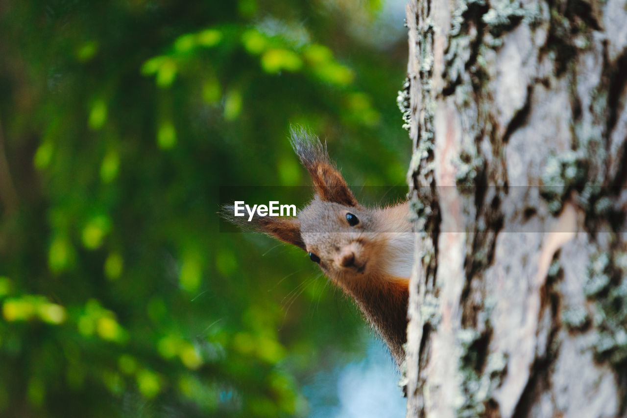 one animal, animal, animal themes, tree, animal wildlife, tree trunk, animals in the wild, trunk, mammal, plant, selective focus, nature, no people, rodent, vertebrate, day, close-up, focus on foreground, branch, squirrel, outdoors, whisker, animal head