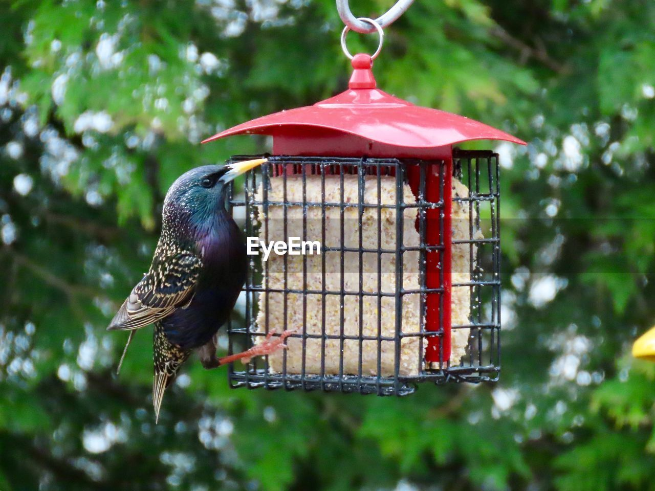 bird, animal, animal themes, vertebrate, bird feeder, animals in the wild, one animal, animal wildlife, focus on foreground, perching, day, nature, no people, plant, hanging, tree, outdoors, red, close-up, woodpecker