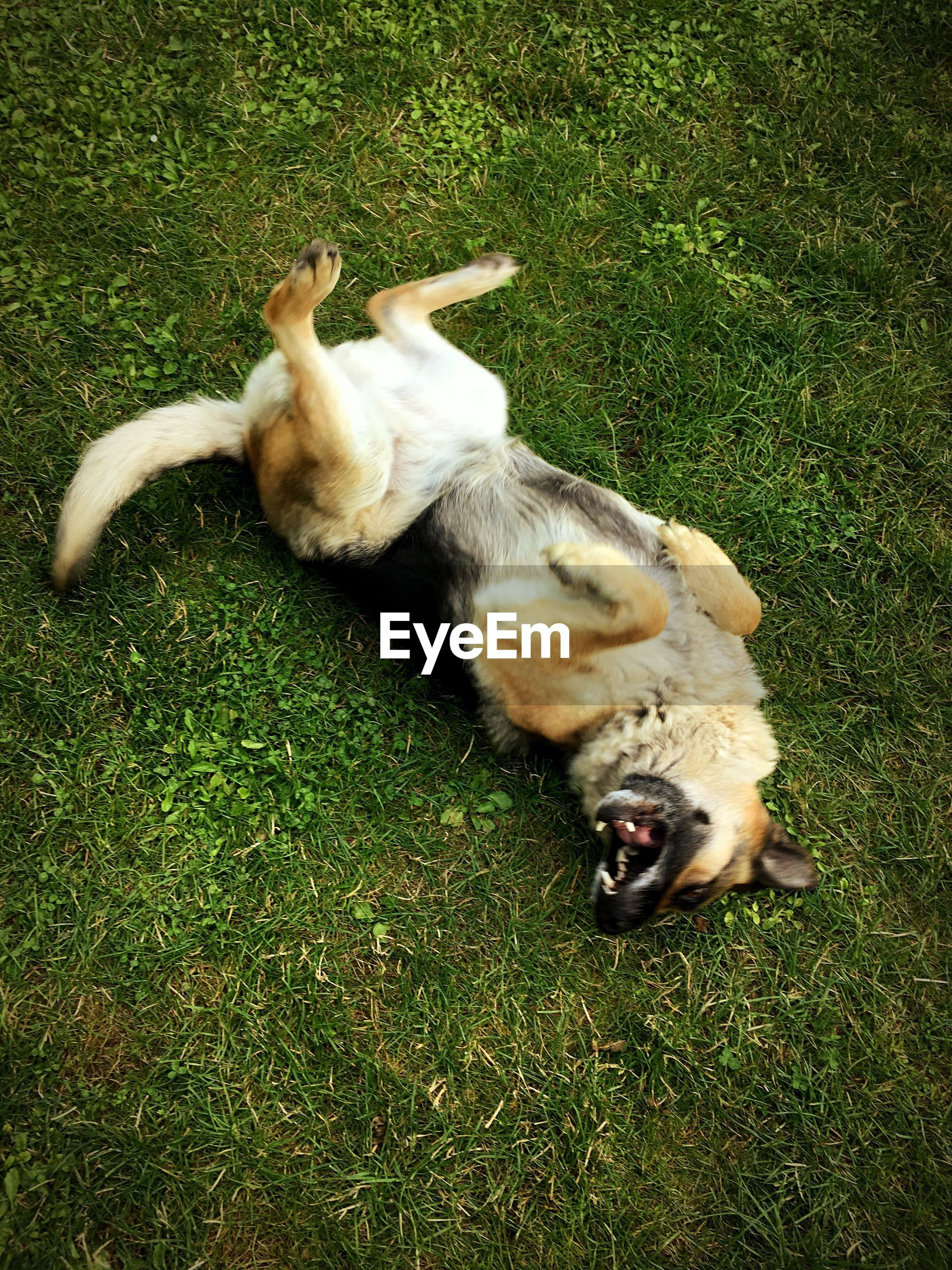 High angle view of dog lying on grassy field