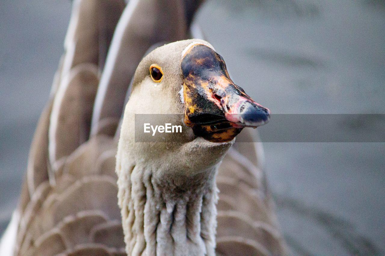 Close-Up Of Goose Swimming On Lake