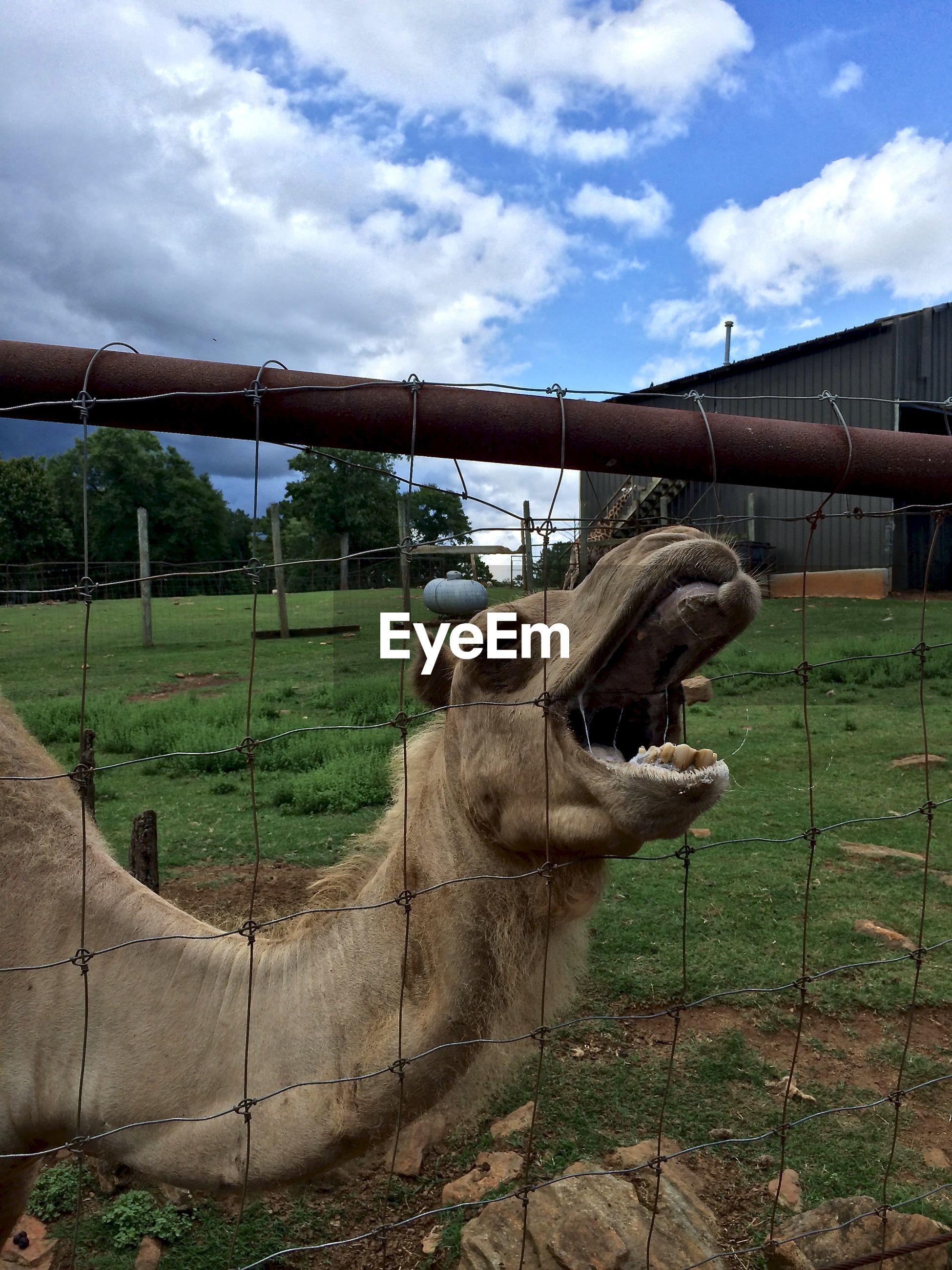 Close-up of a camel on landscape