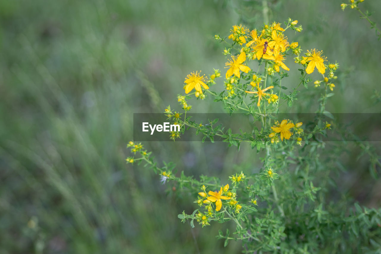 flower, flowering plant, plant, growth, beauty in nature, freshness, yellow, fragility, vulnerability, selective focus, field, nature, close-up, land, day, no people, green color, outdoors, petal, tranquility, flower head