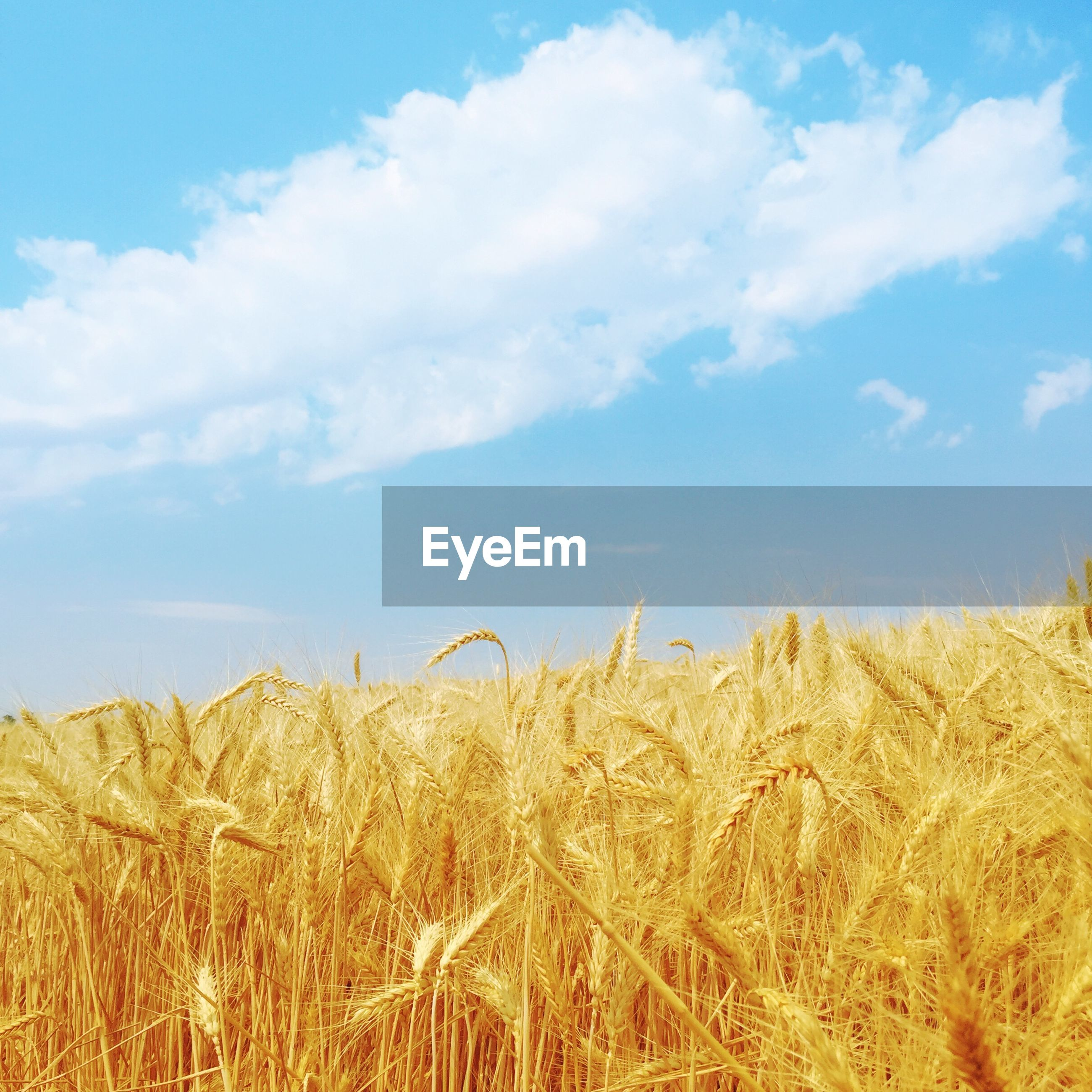 sky, field, rural scene, agriculture, farm, crop, growth, landscape, nature, tranquility, cloud - sky, cloud, grass, tranquil scene, plant, beauty in nature, blue, dry, cereal plant, scenics