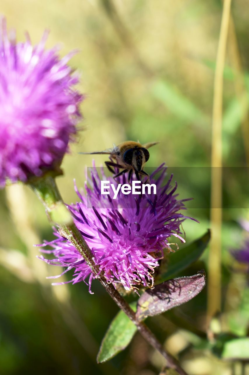 flower, purple, insect, nature, fragility, one animal, animal themes, beauty in nature, animals in the wild, growth, plant, freshness, petal, bee, pollination, no people, day, outdoors, bumblebee, close-up, flower head, thistle, buzzing