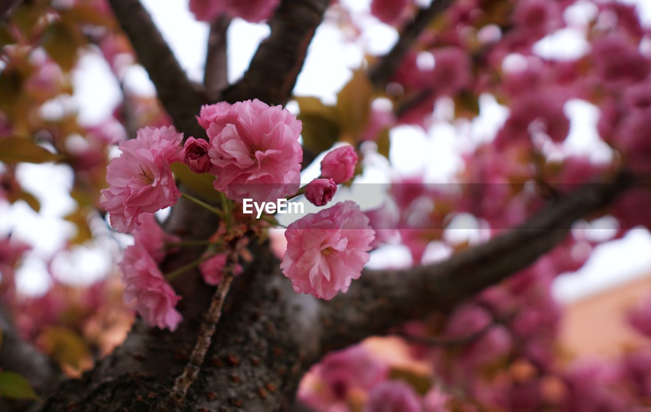 flower, pink color, flowering plant, plant, growth, beauty in nature, fragility, freshness, vulnerability, petal, tree, branch, close-up, flower head, day, no people, nature, blossom, inflorescence, selective focus, springtime, outdoors, cherry blossom, pollen, cherry tree, spring