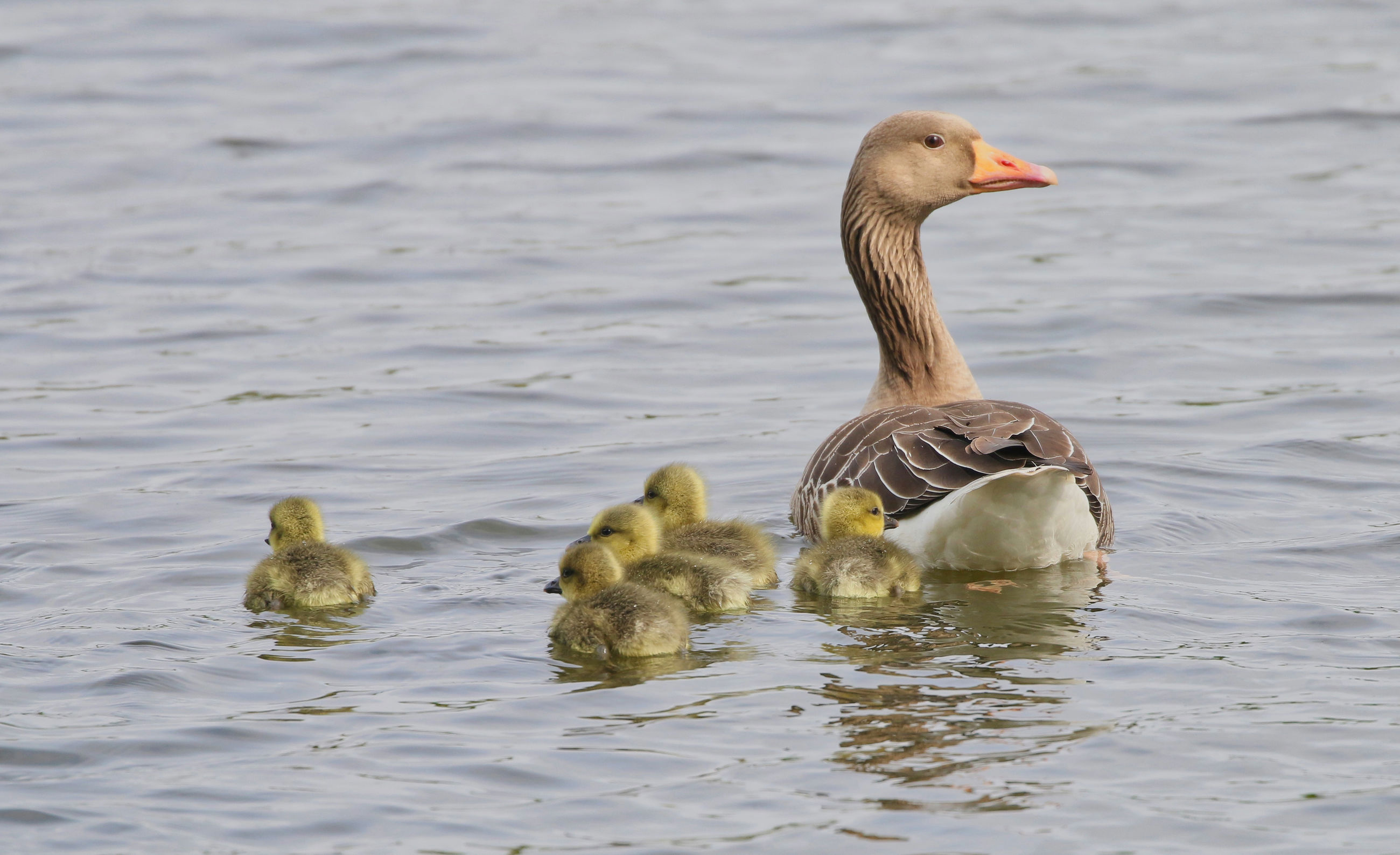 animal wildlife, animal themes, animals in the wild, bird, animal, group of animals, vertebrate, swimming, young bird, young animal, lake, waterfront, water, animal family, no people, gosling, goose, water bird, day, duck