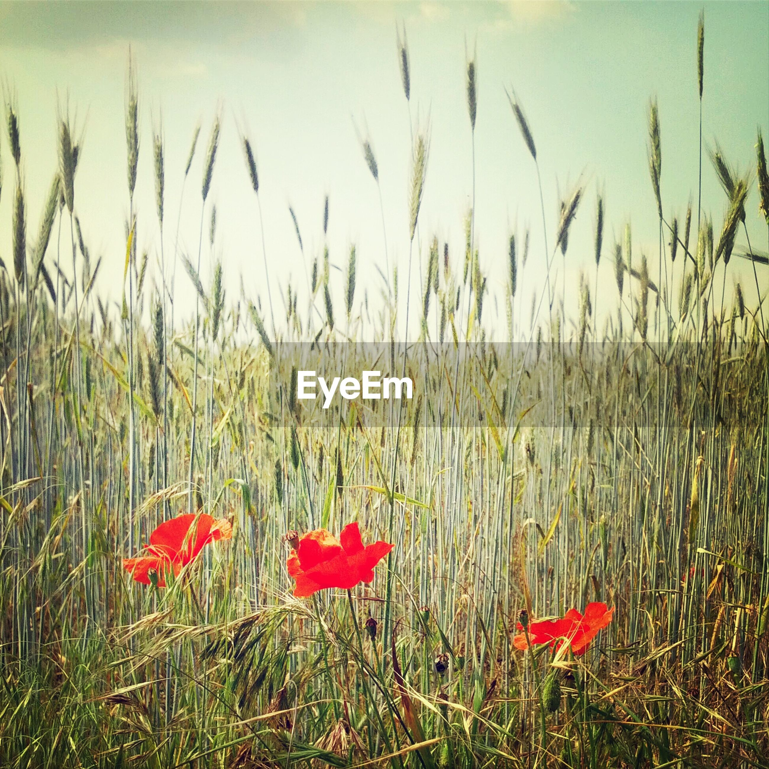 View of red flowers growing in field