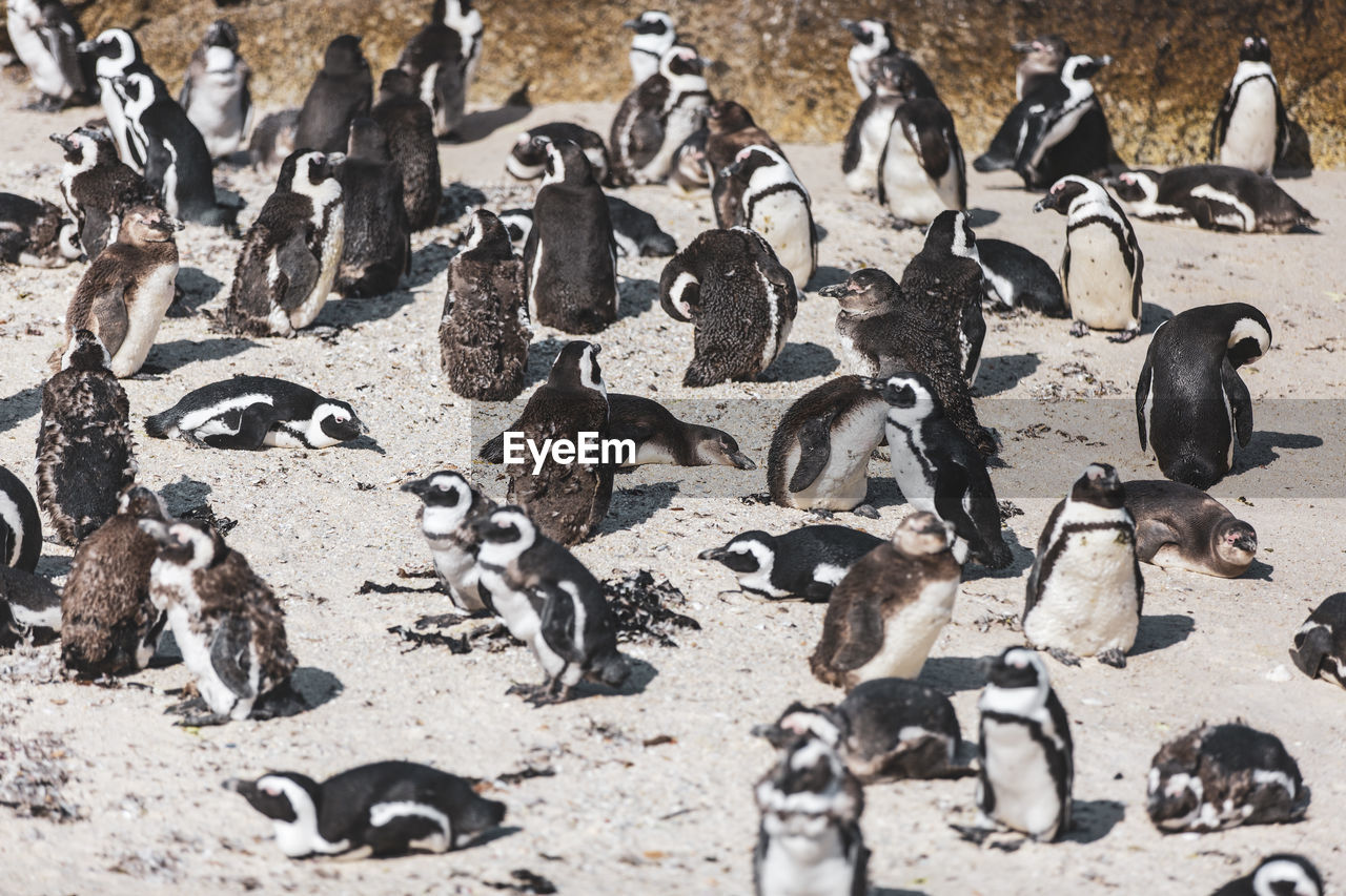 large group of animals, animal, group of animals, animal wildlife, animals in the wild, animal themes, bird, penguin, vertebrate, nature, colony, no people, land, beach, young bird, young animal, day, high angle view, sand, flock of birds, animal family, herd