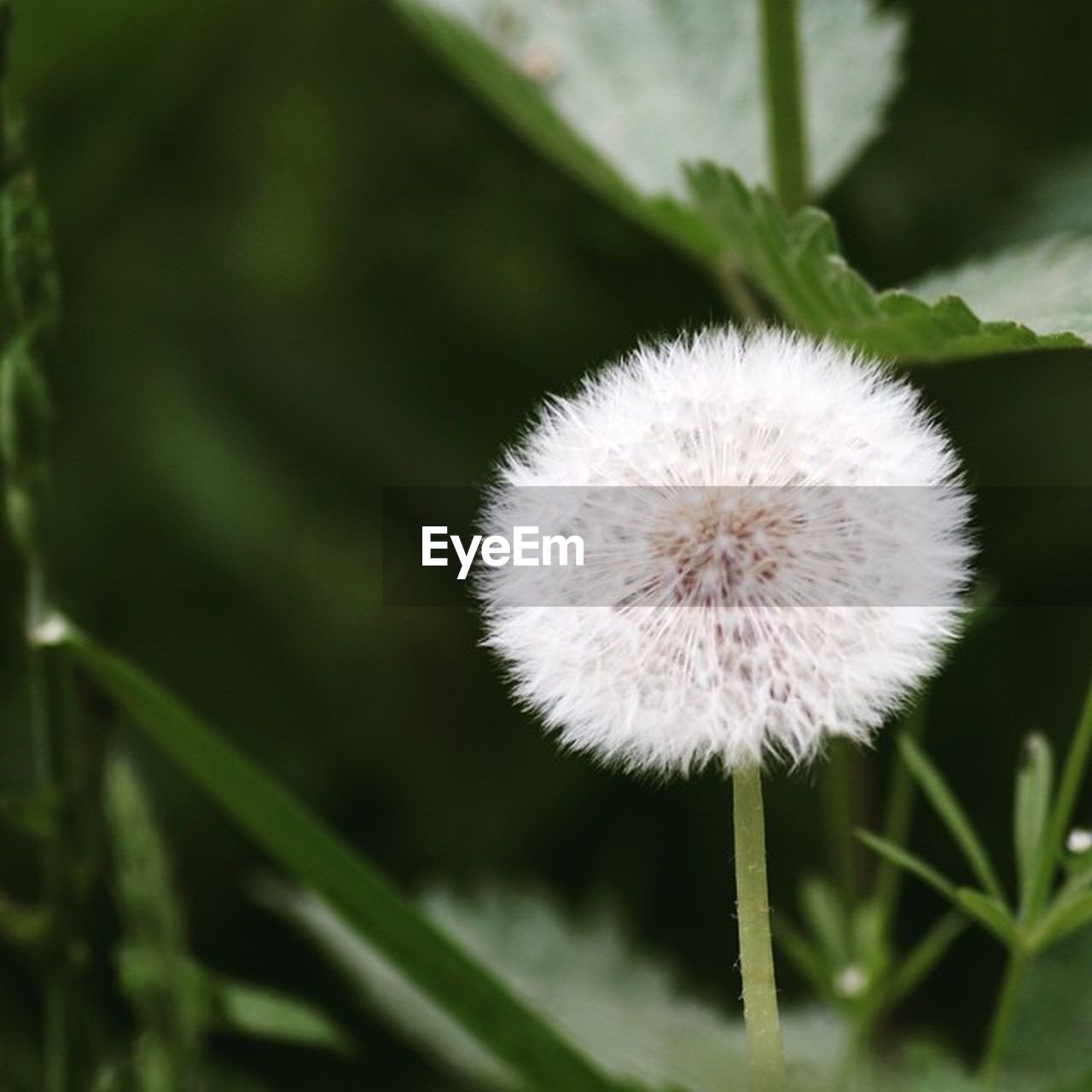 plant, flower, flowering plant, vulnerability, dandelion, fragility, freshness, close-up, beauty in nature, growth, no people, focus on foreground, nature, inflorescence, white color, day, flower head, softness, green color, outdoors, dandelion seed