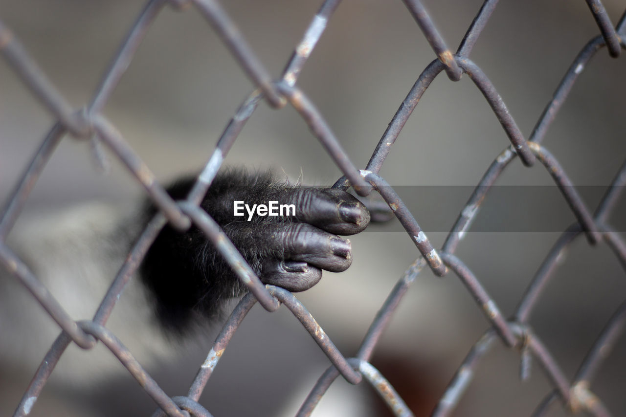 monkey, primate, one animal, animal, animal themes, mammal, animal wildlife, vertebrate, animals in the wild, animals in captivity, focus on foreground, ape, no people, fence, animal body part, zoo, day, metal, boundary, cage, animal head