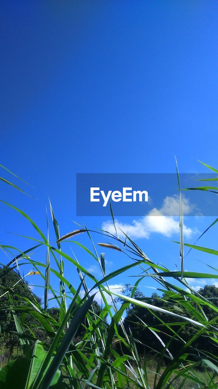 growth, blue, plant, day, green color, field, no people, nature, outdoors, leaf, sky, low angle view, agriculture, beauty in nature, clear sky, rural scene, freshness, close-up