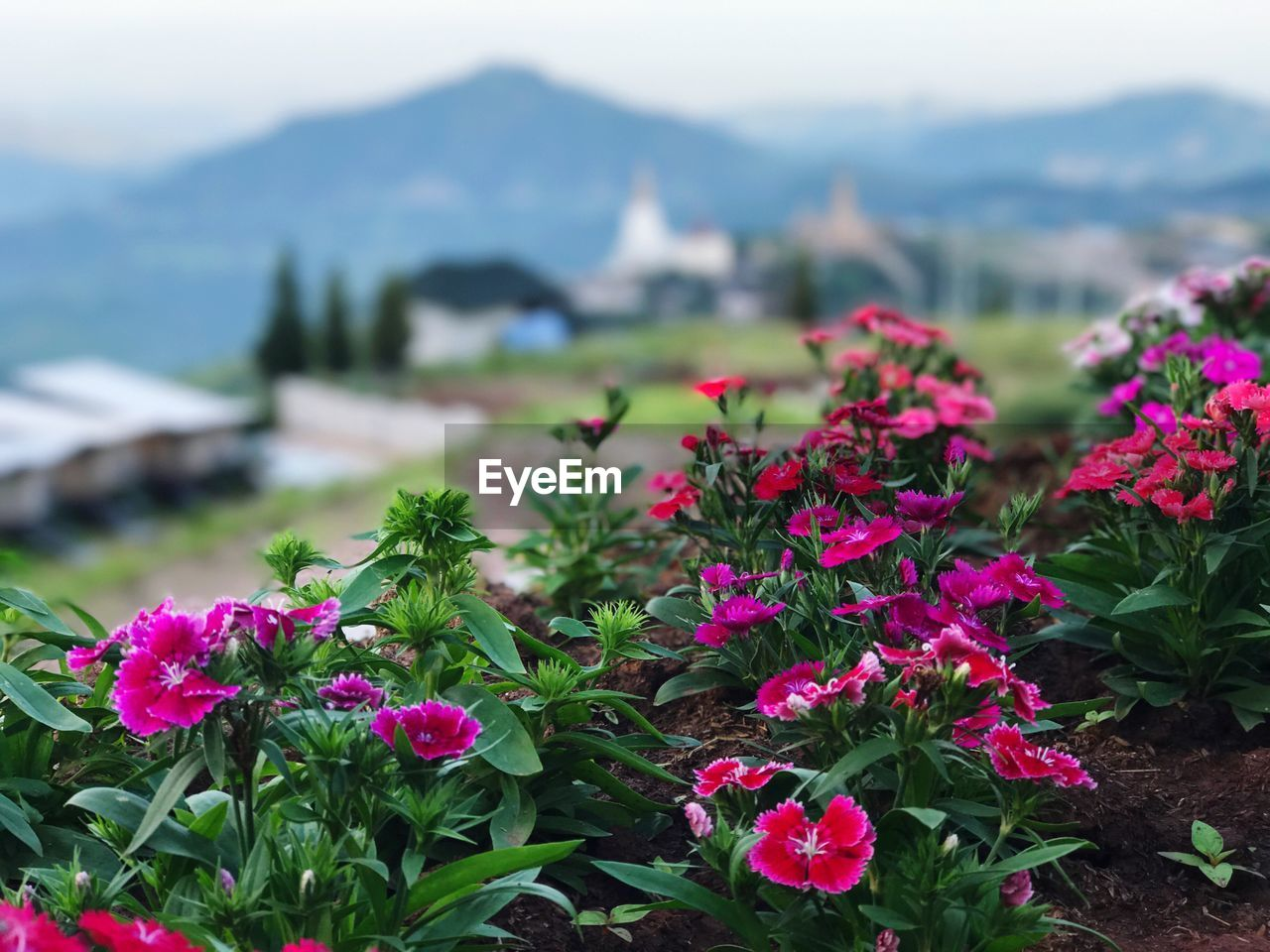 flower, growth, beauty in nature, nature, plant, fragility, freshness, outdoors, no people, day, green color, focus on foreground, flower head, blooming, mountain, close-up