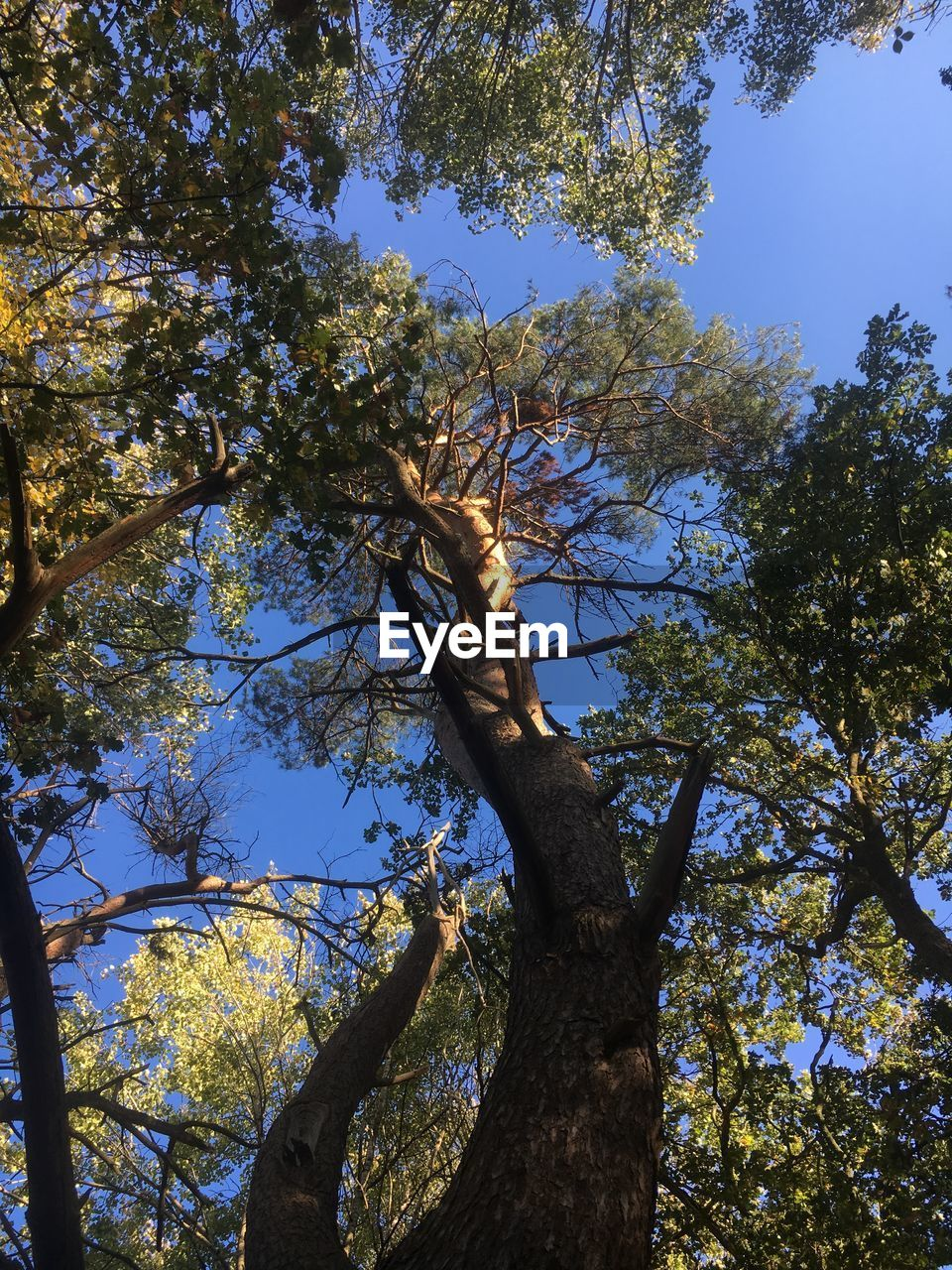 tree, plant, low angle view, nature, branch, growth, beauty in nature, sky, tranquility, tree trunk, trunk, day, no people, outdoors, sunlight, clear sky, forest, blue, leaf, land, tree canopy