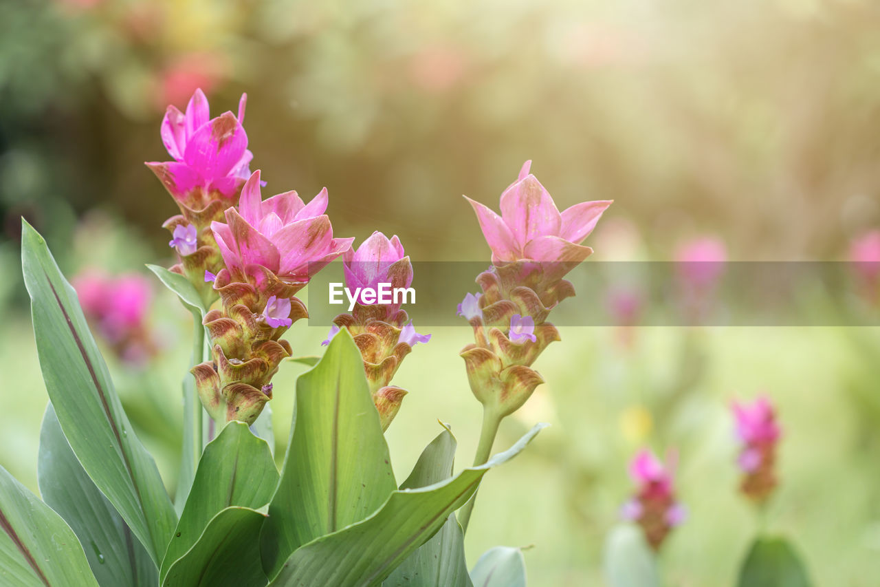 CLOSE-UP OF PINK FLOWERING PLANT AGAINST BLURRED BACKGROUND