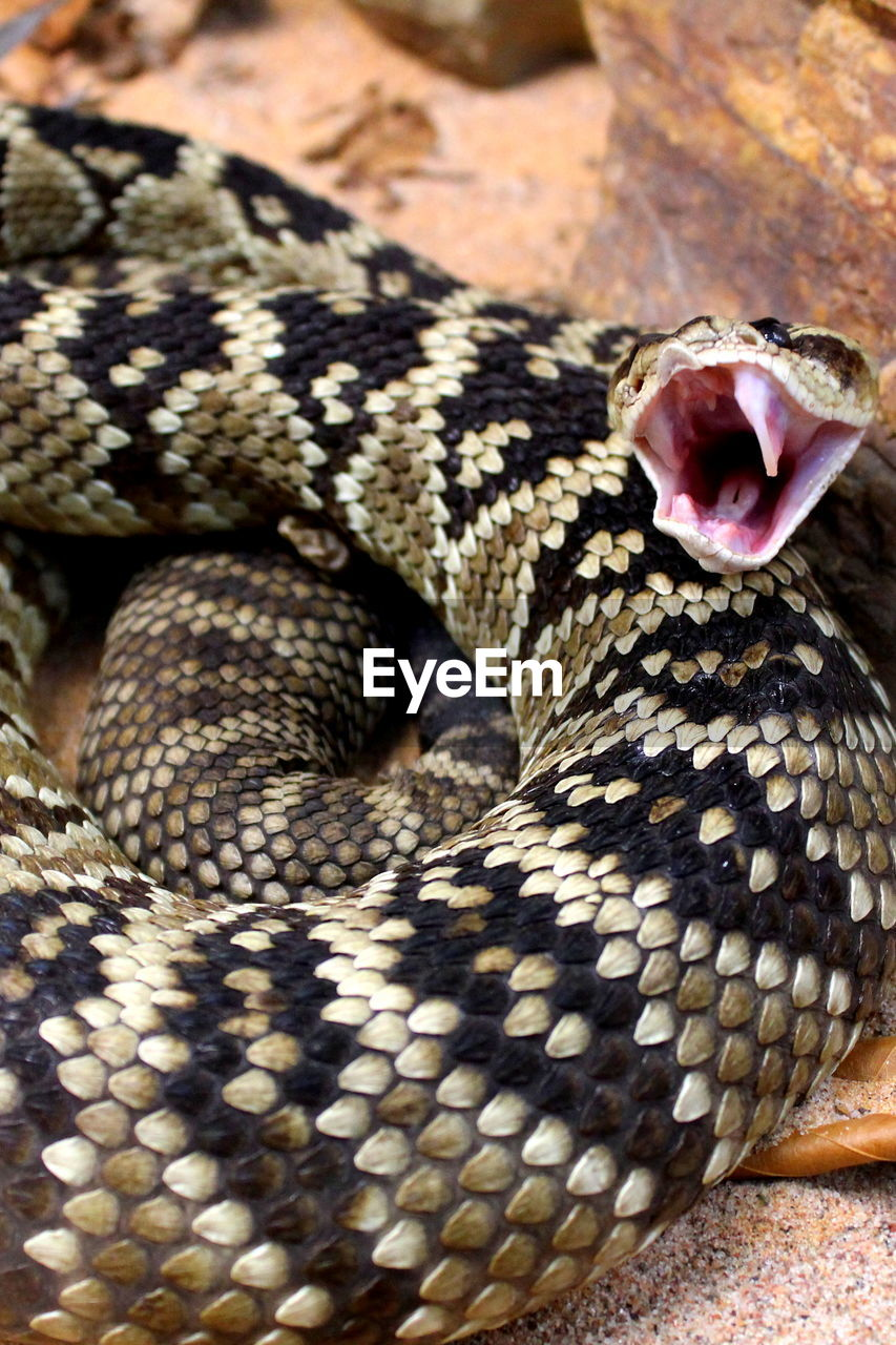 animal, animal themes, one animal, snake, reptile, animal wildlife, animals in the wild, vertebrate, animal body part, close-up, no people, communication, warning sign, sign, facial expression, mouth open, sticking out tongue, day, animal scale, nature, poisonous, animal tongue, animal head, animal mouth, aggression