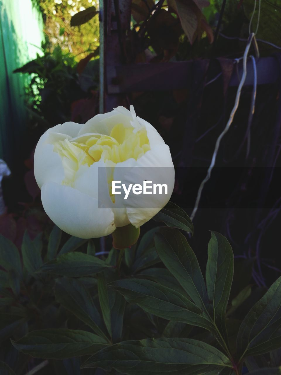 plant, beauty in nature, flowering plant, growth, flower, fragility, vulnerability, flower head, petal, inflorescence, close-up, freshness, white color, nature, focus on foreground, leaf, plant part, no people, rose, rose - flower, outdoors, softness