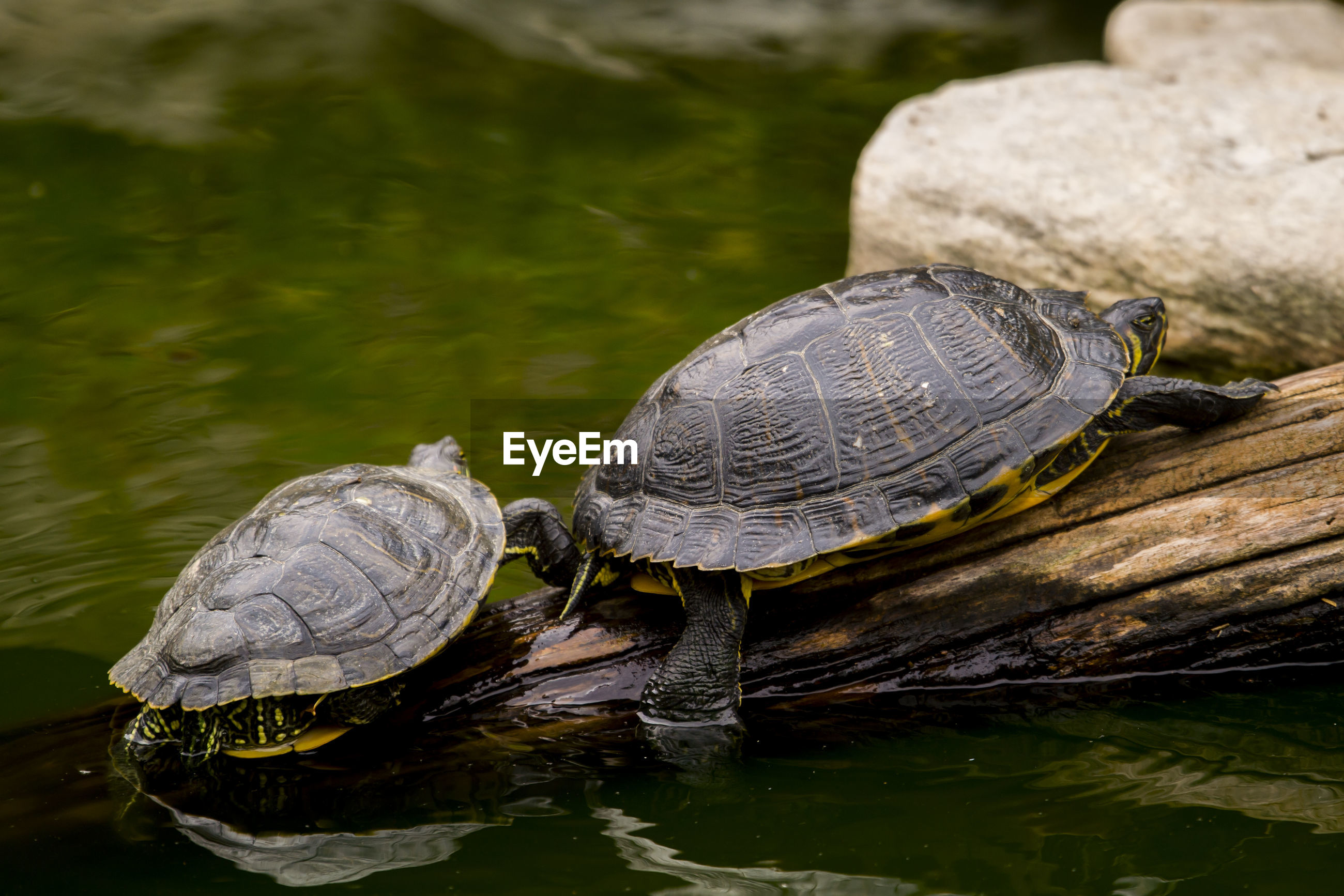 Close-up of tortoise on wood in lake