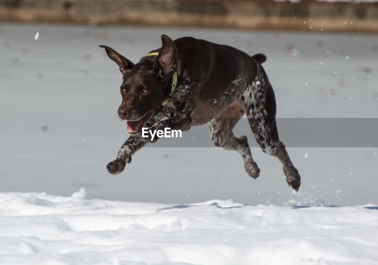 German short-haired pointer running on snow covered field