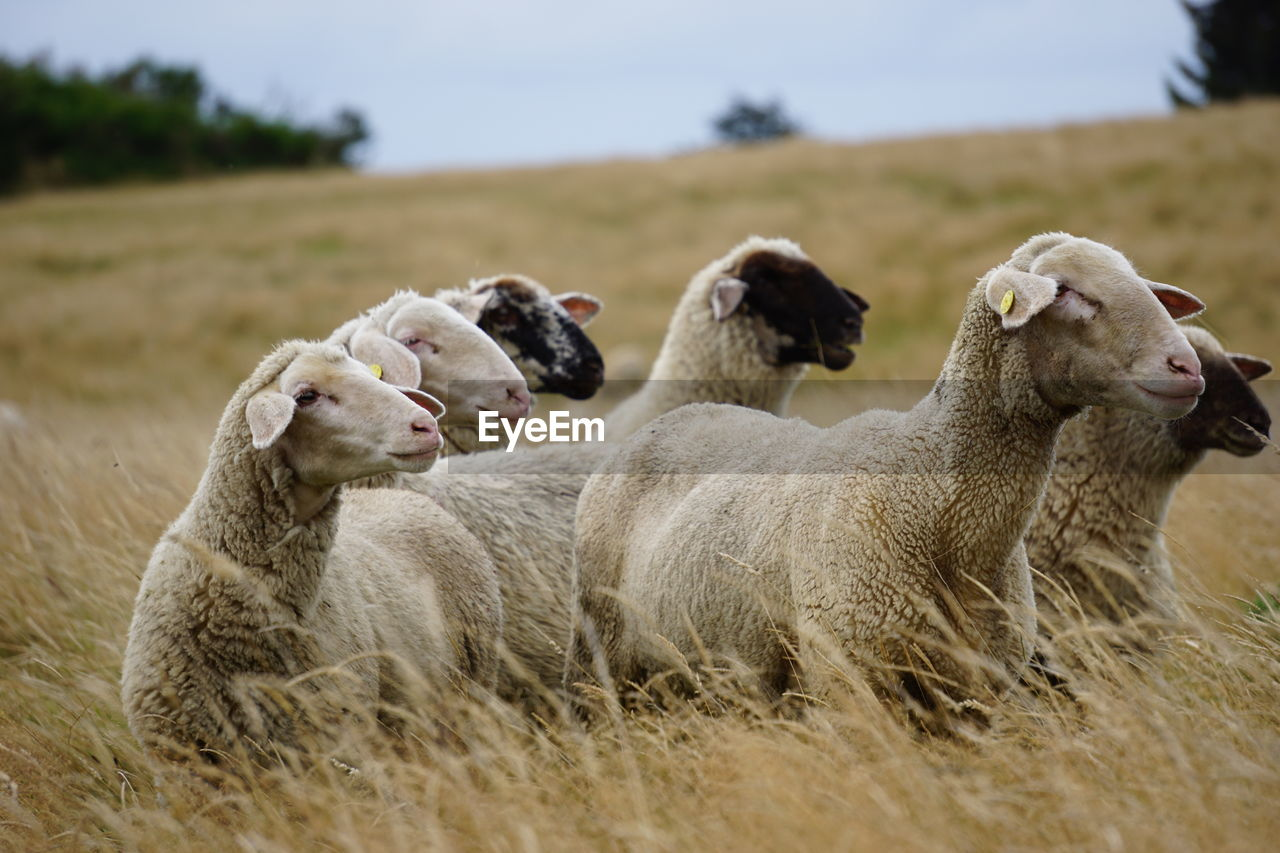 Group Of Sheep On Field In Summer