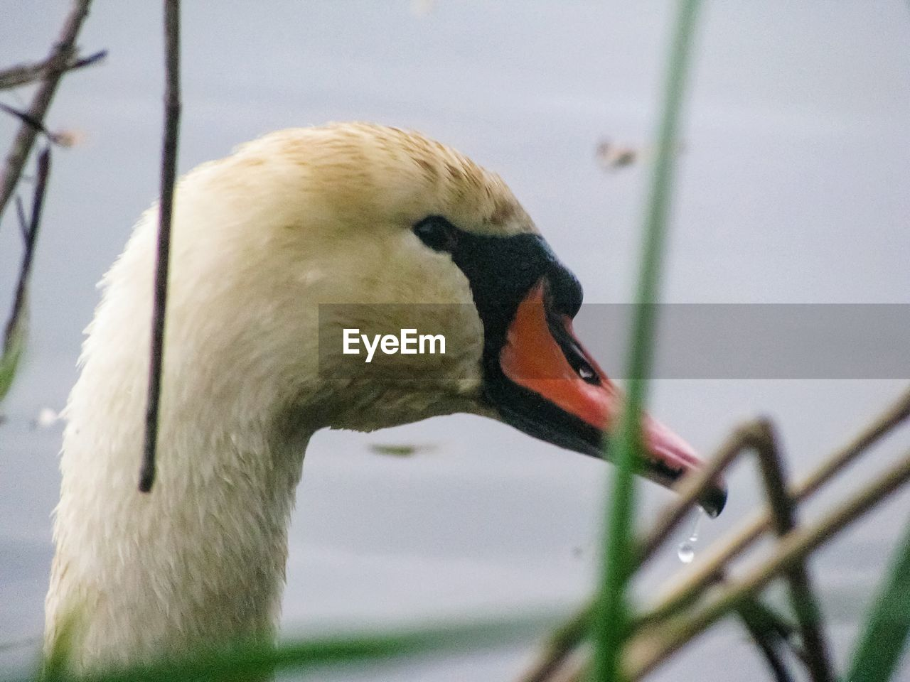 bird, animal themes, animals in the wild, one animal, beak, animal wildlife, close-up, no people, water bird, swan, day, outdoors, nature