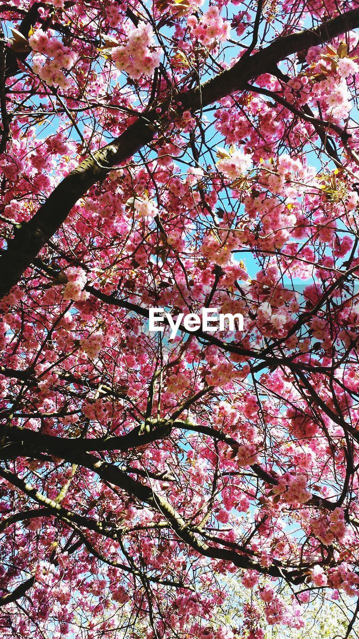 tree, low angle view, branch, plant, flower, flowering plant, blossom, springtime, growth, beauty in nature, nature, pink color, fragility, freshness, no people, cherry blossom, vulnerability, day, full frame, cherry tree, outdoors, spring, directly below, tree canopy