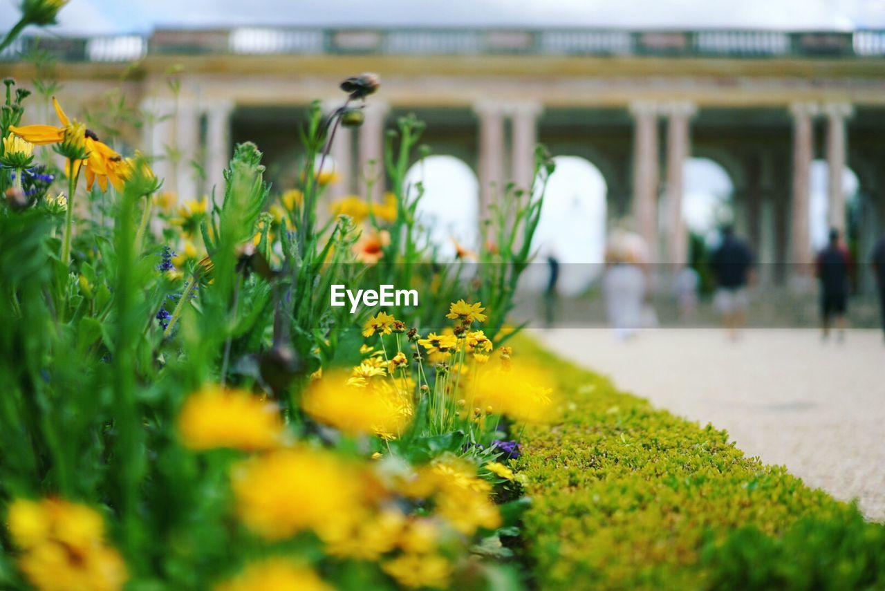 Yellow Flowers Growing At Palace Of Versailles