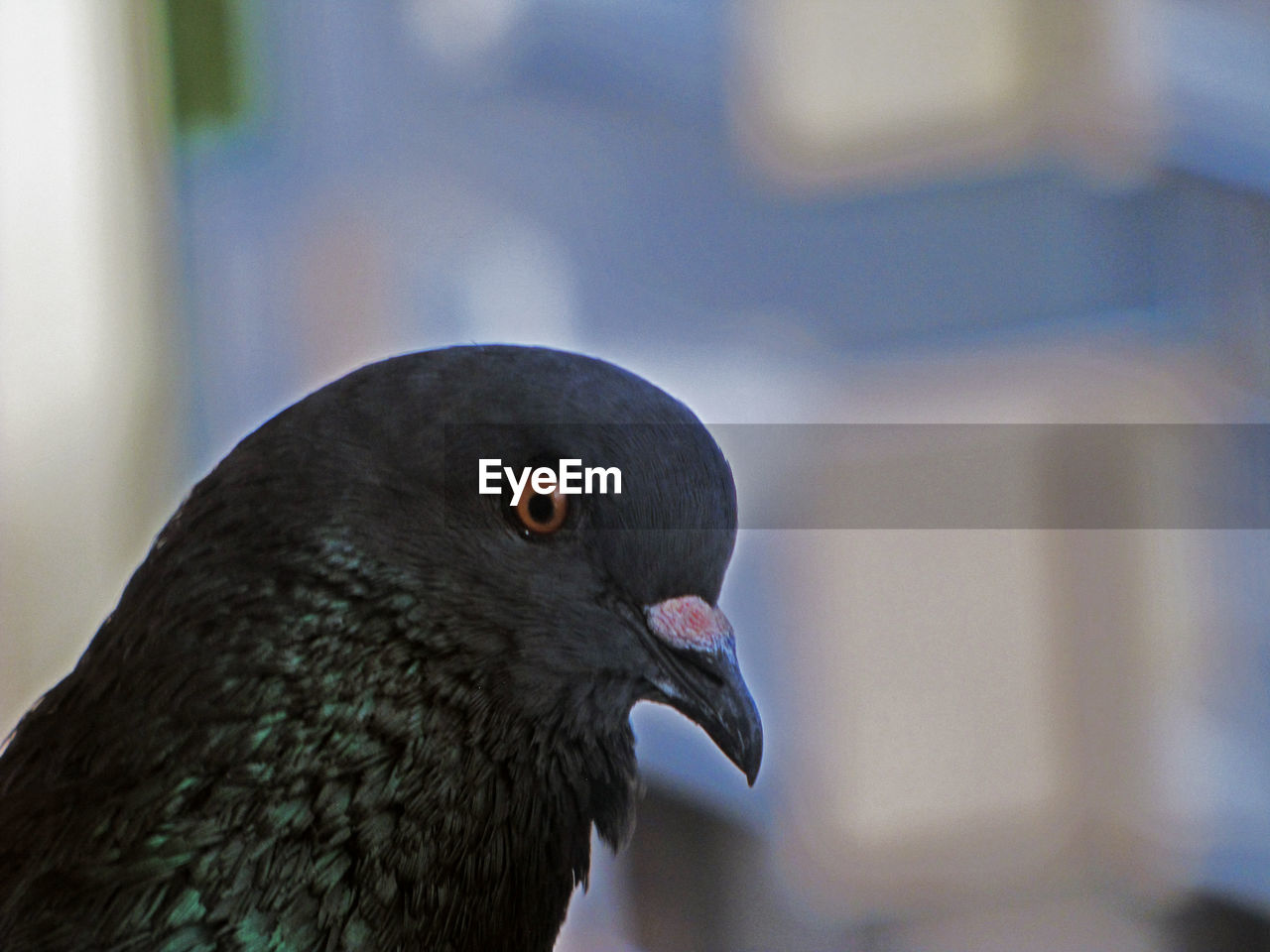 animal themes, animal, bird, vertebrate, one animal, animal wildlife, animals in the wild, close-up, focus on foreground, day, pigeon, no people, beak, nature, outdoors, animal body part, black color, animal head, looking away, looking, animal eye