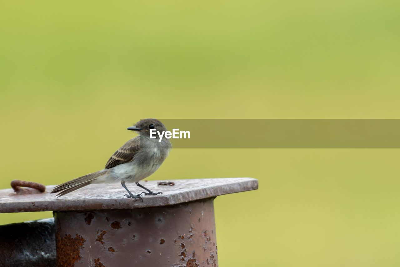 animals in the wild, animal wildlife, bird, perching, vertebrate, animal themes, animal, one animal, copy space, no people, focus on foreground, close-up, day, wood - material, metal, sparrow, nature, outdoors, yellow, looking away
