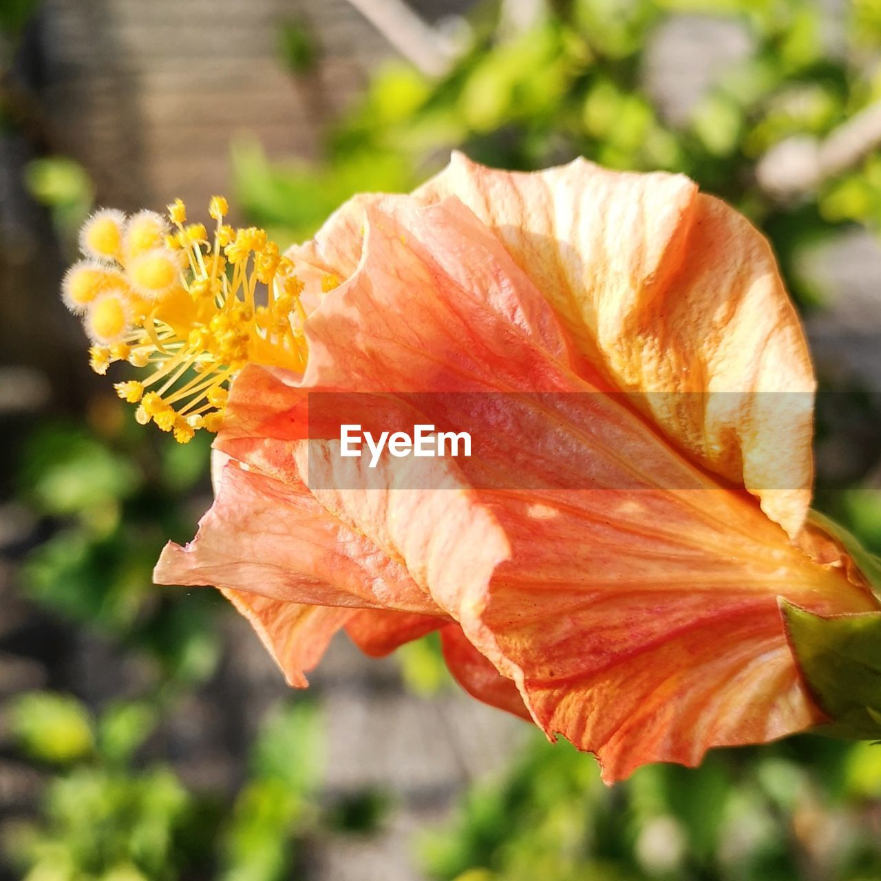 beauty in nature, flowering plant, flower, vulnerability, fragility, plant, freshness, close-up, petal, focus on foreground, growth, nature, inflorescence, flower head, day, orange color, sunlight, no people, outdoors, botany, pollen