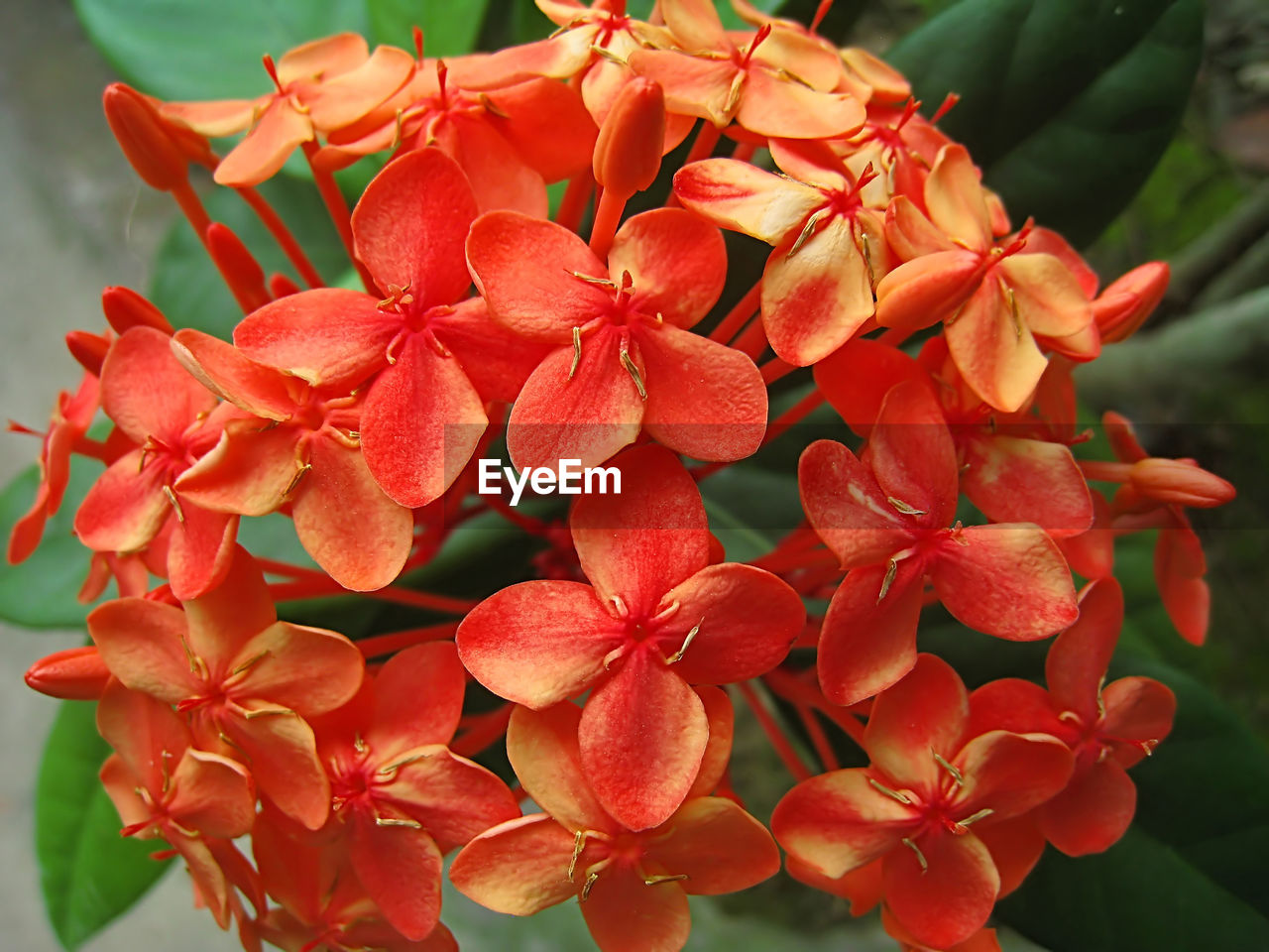flower, petal, flower head, fragility, beauty in nature, growth, freshness, red, nature, plant, ixora, focus on foreground, blooming, close-up, day, outdoors, no people
