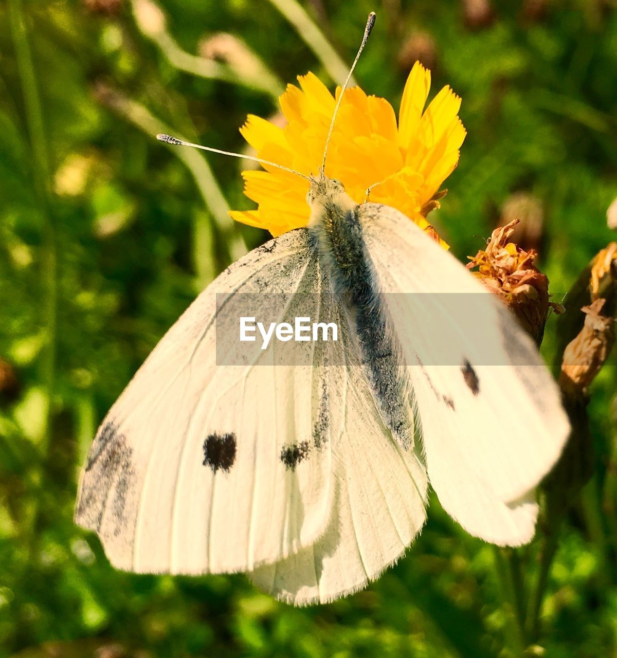insect, one animal, animal themes, animals in the wild, butterfly - insect, close-up, nature, butterfly, no people, animal wildlife, yellow, fragility, flower, outdoors, plant, beauty in nature, day, flower head, freshness