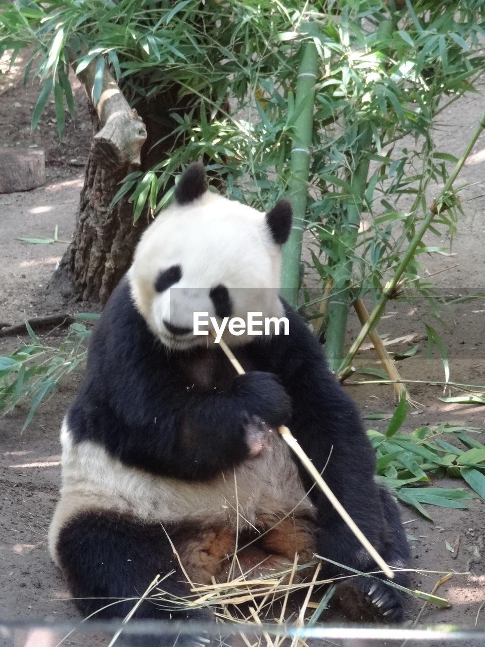 animal themes, mammal, animal, animal wildlife, animals in the wild, one animal, panda - animal, vertebrate, plant, nature, bear, day, sitting, endangered species, giant panda, zoology, eating, no people, outdoors, zoo, bamboo - plant, herbivorous