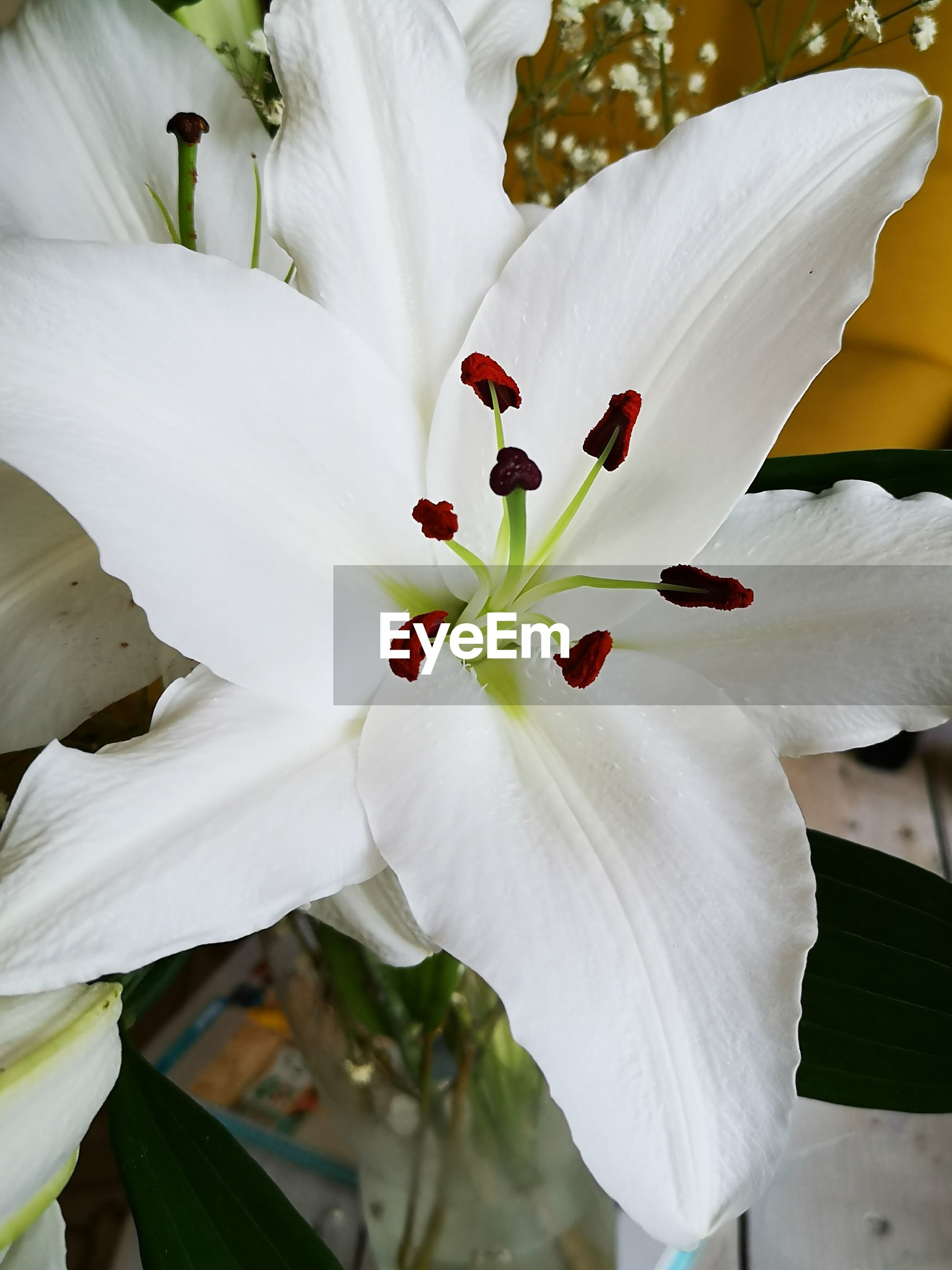 CLOSE-UP OF WHITE LILY FLOWER