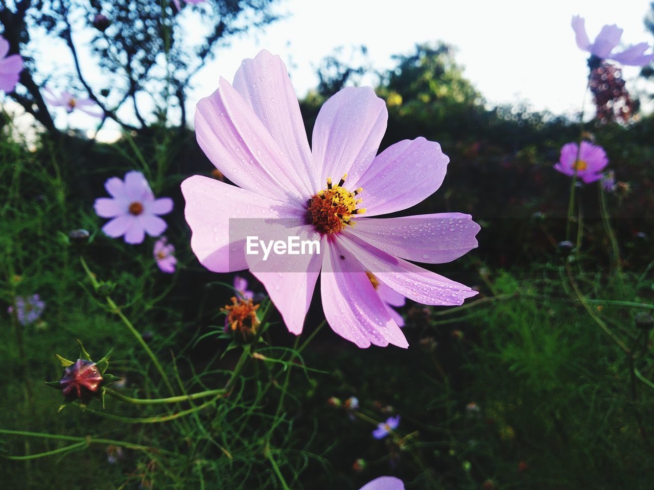 flowering plant, flower, plant, freshness, petal, beauty in nature, growth, vulnerability, fragility, flower head, inflorescence, close-up, focus on foreground, nature, day, no people, cosmos flower, pollen, pink color, field, outdoors, purple