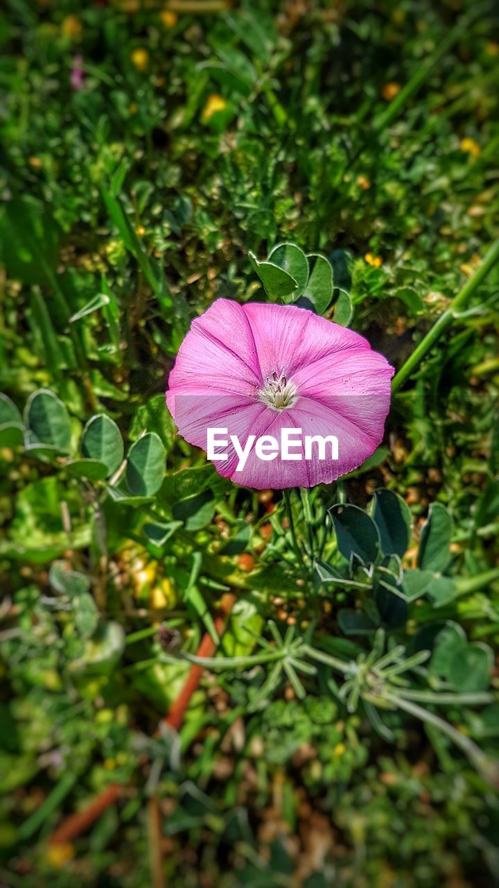 pink color, green color, growth, flower, day, fragility, nature, plant, outdoors, no people, beauty in nature, flower head, close-up, freshness, blooming, petunia, periwinkle