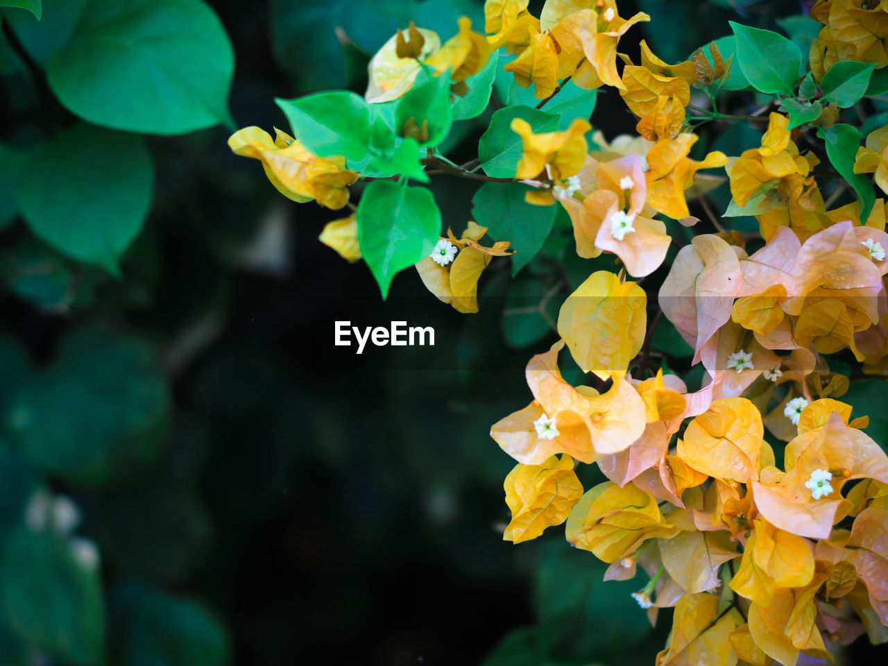 growth, plant, beauty in nature, leaf, plant part, flowering plant, vulnerability, flower, close-up, fragility, freshness, petal, yellow, day, nature, focus on foreground, inflorescence, flower head, no people, green color, outdoors, lantana, natural condition