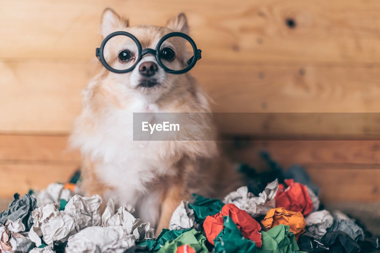 one animal, pets, domestic, animal themes, mammal, domestic animals, animal, glasses, dog, canine, vertebrate, indoors, no people, eyeglasses, portrait, brown, fun, sitting, lap dog, looking at camera