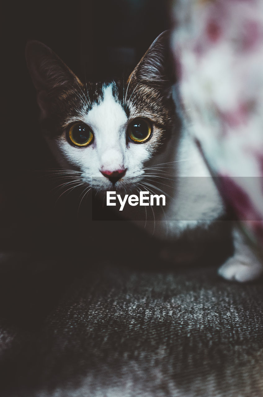 domestic cat, pets, domestic, cat, domestic animals, feline, mammal, animal themes, animal, one animal, vertebrate, looking at camera, portrait, whisker, indoors, no people, animal body part, close-up, eye, young animal, animal head, kitten, animal eye