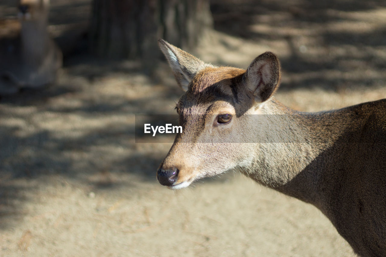animal, animal themes, one animal, mammal, vertebrate, animal wildlife, domestic animals, focus on foreground, no people, sunlight, looking away, animals in the wild, looking, nature, deer, day, close-up, pets, animal body part, animal head, herbivorous, snout