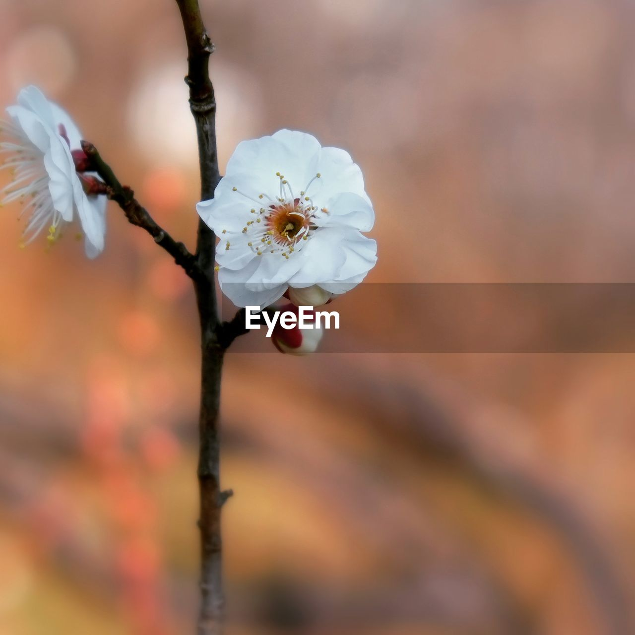 flower, fragility, white color, nature, beauty in nature, petal, focus on foreground, growth, close-up, flower head, freshness, no people, outdoors, plum blossom, day, branch, tree