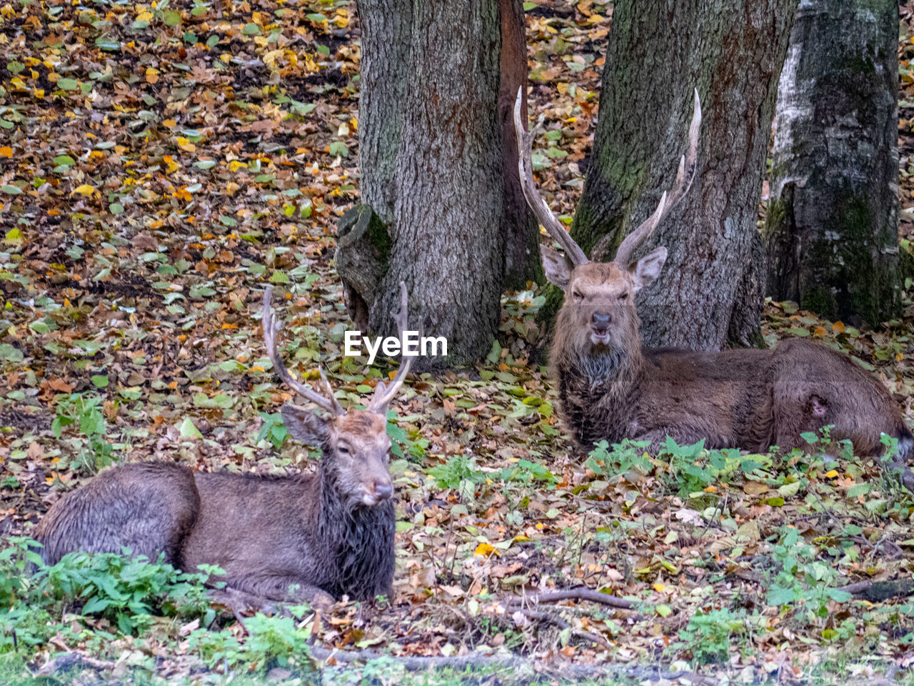 animal, animal themes, mammal, tree, portrait, animal wildlife, one animal, animals in the wild, land, looking at camera, tree trunk, trunk, plant, nature, forest, day, no people, vertebrate, autumn, deer, outdoors
