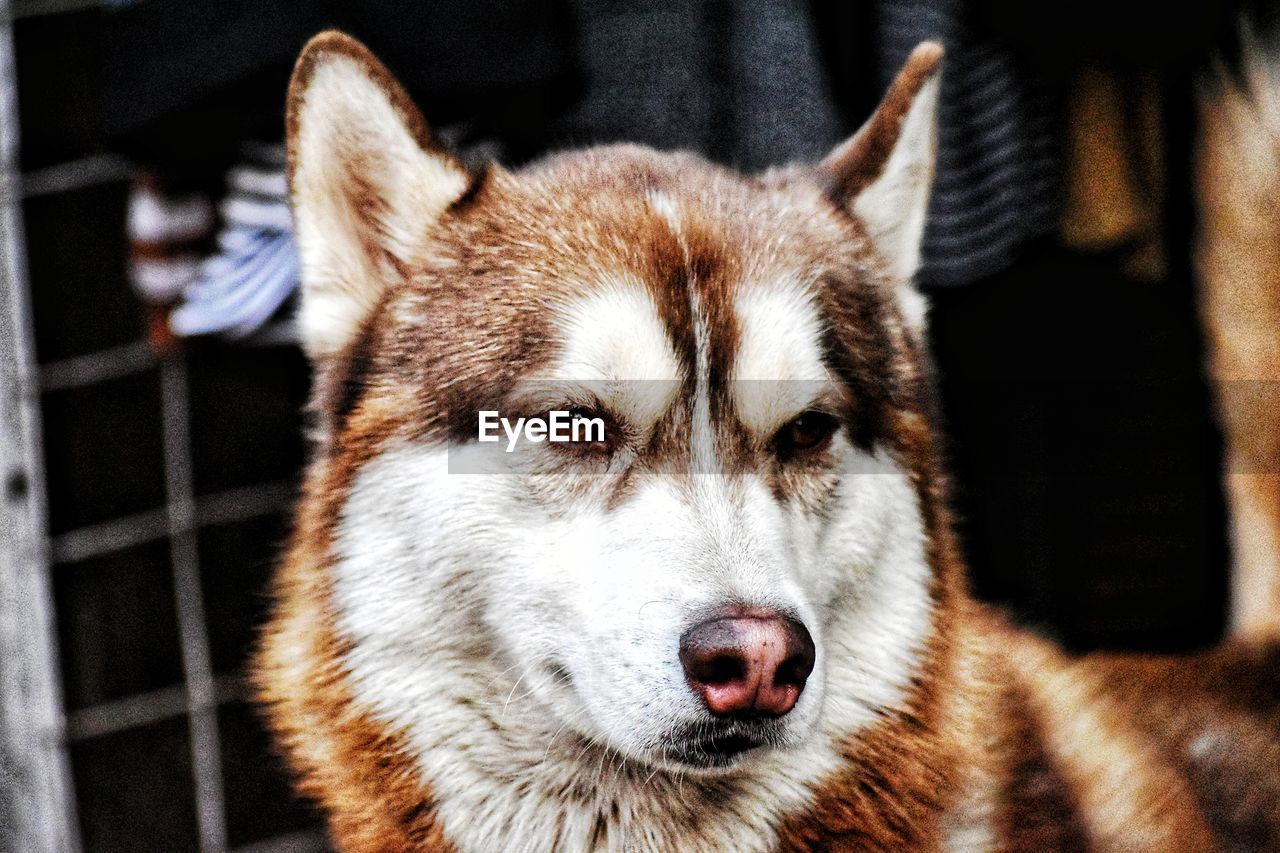 animal themes, one animal, animal, mammal, vertebrate, pets, domestic animals, close-up, focus on foreground, domestic, canine, dog, portrait, no people, animal body part, day, animal wildlife, animal head, sled dog, looking at camera, whisker