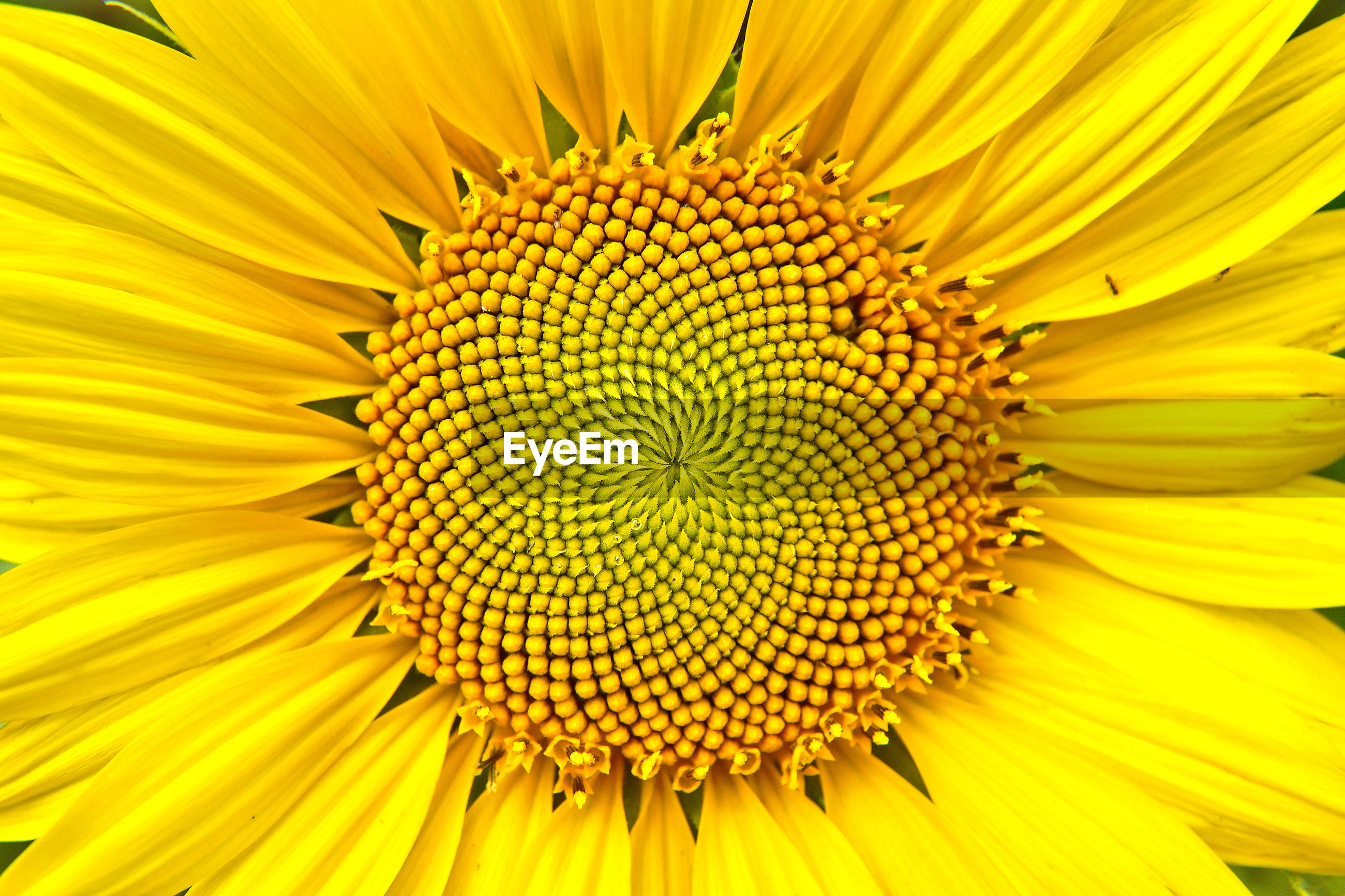 CLOSE-UP OF FRESH YELLOW SUNFLOWER