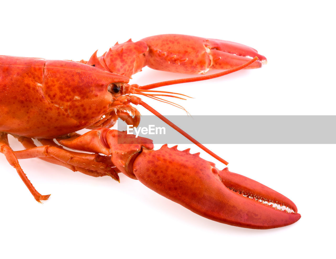 white background, studio shot, close-up, one animal, indoors, red, animal themes, no people, food and drink, cut out, food, animal wildlife, animal, freshness, animals in the wild, crustacean, seafood, healthy eating, insect, wellbeing, marine