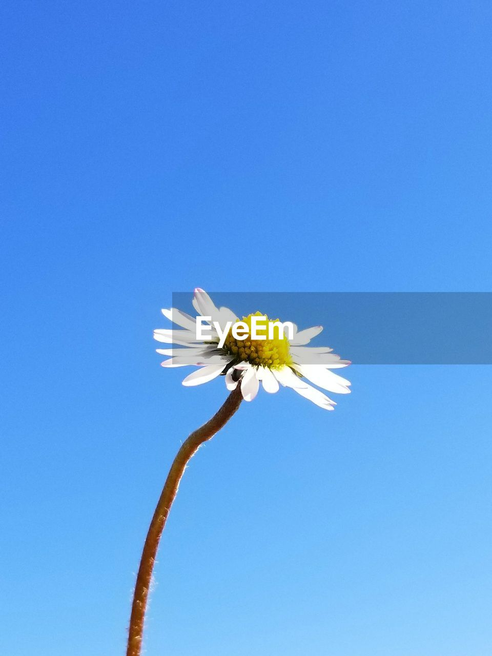 flowering plant, flower, blue, fragility, beauty in nature, vulnerability, sky, freshness, plant, nature, flower head, copy space, growth, clear sky, inflorescence, petal, day, close-up, daisy, no people, outdoors, pollen