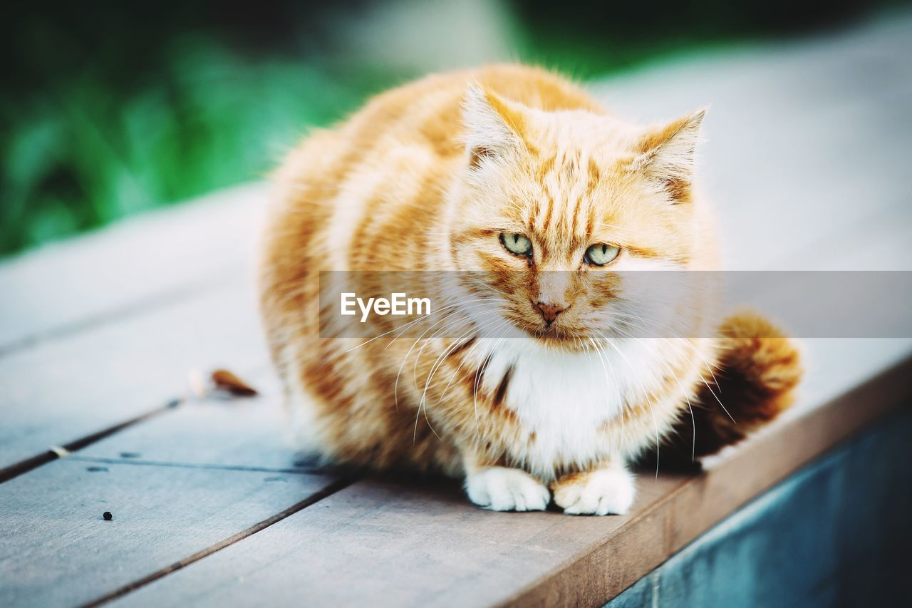 one animal, domestic cat, animal themes, mammal, pets, feline, domestic animals, whisker, focus on foreground, no people, day, looking at camera, outdoors, sitting, portrait, close-up, ginger cat, nature