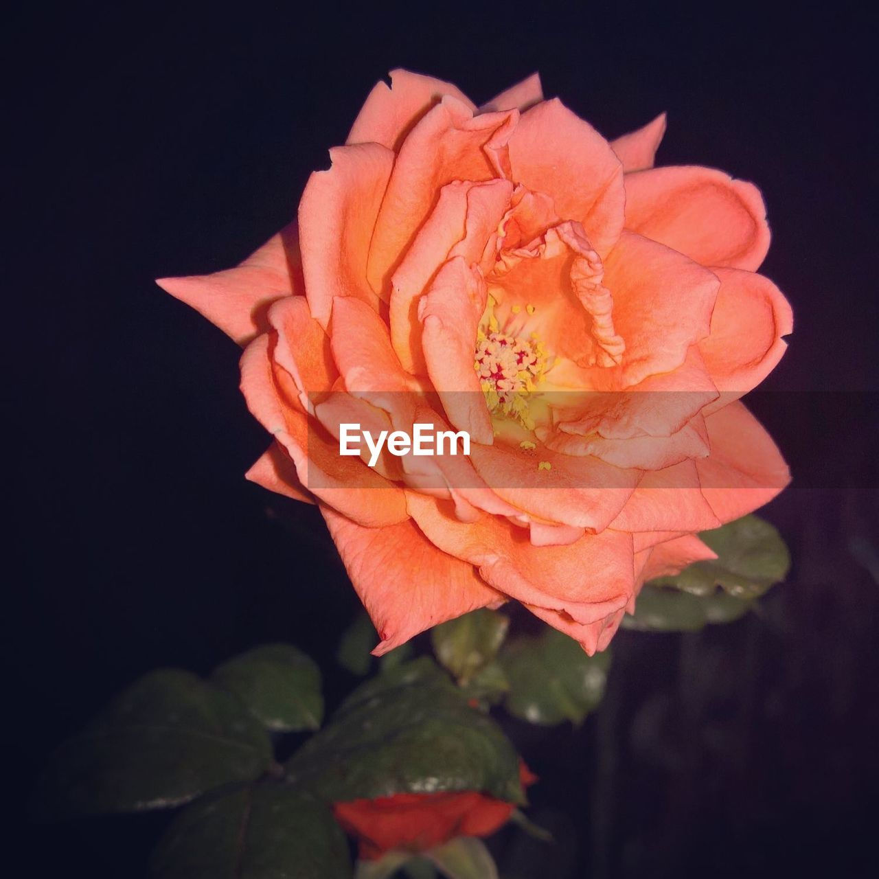 flower, petal, nature, beauty in nature, rose - flower, flower head, plant, fragility, leaf, black background, growth, close-up, freshness, no people, blooming, outdoors, night
