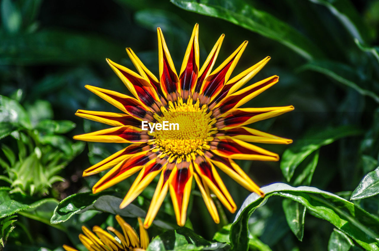 flower, flowering plant, plant, growth, freshness, beauty in nature, flower head, vulnerability, fragility, inflorescence, petal, close-up, nature, yellow, day, focus on foreground, pollen, green color, no people, gazania, outdoors