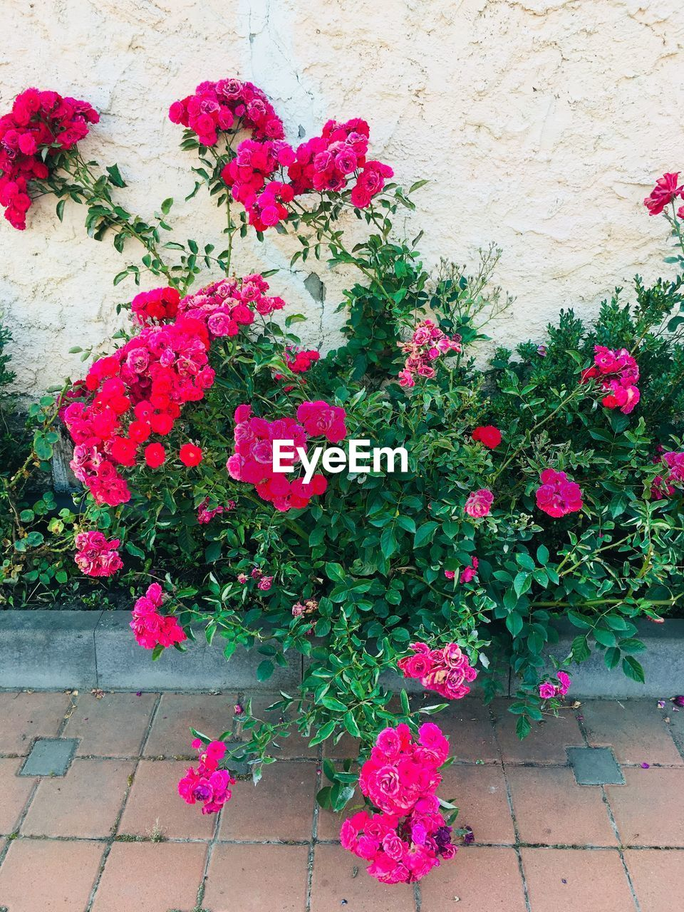 flower, flowering plant, plant, freshness, pink color, growth, beauty in nature, fragility, vulnerability, nature, no people, petal, flower head, plant part, multi colored, leaf, day, outdoors, inflorescence, choice, flower pot, flower arrangement, bunch of flowers